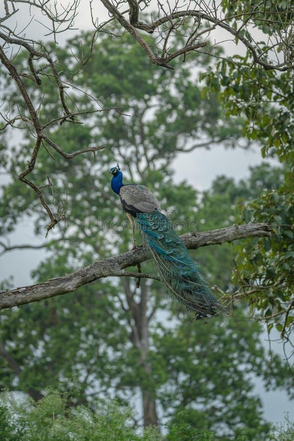 Een Majestueuze Koninklijke Pauw de Nationale Vogel van India royalty-vrije stock afbeelding