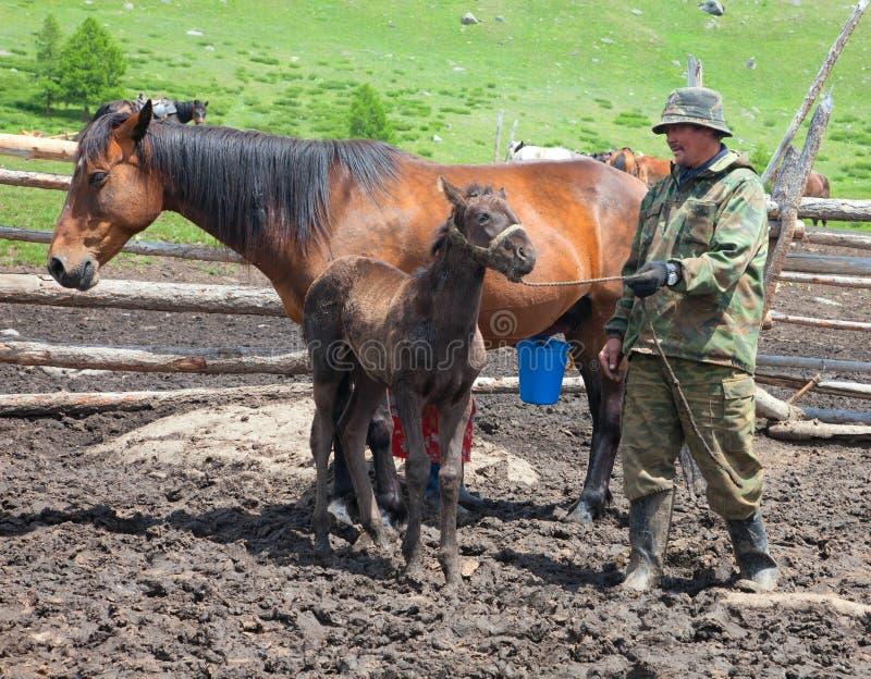 Een man en een vrouw die een paard melken royalty-vrije stock afbeelding
