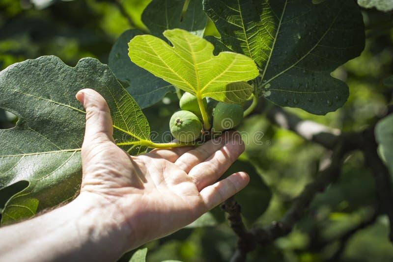 Een man hand bereikt voor het het groeien fruit van de Vijgeboom stock fotografie