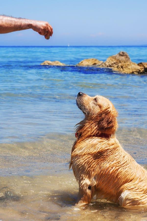 Een manager die een golden retriever opleiden bij het strand stock afbeelding