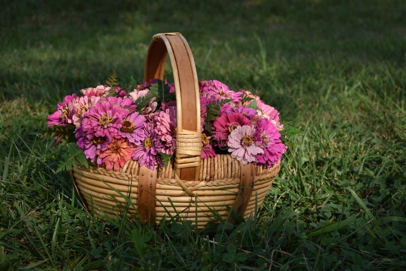 Een mand van roze zinnias royalty-vrije stock afbeelding