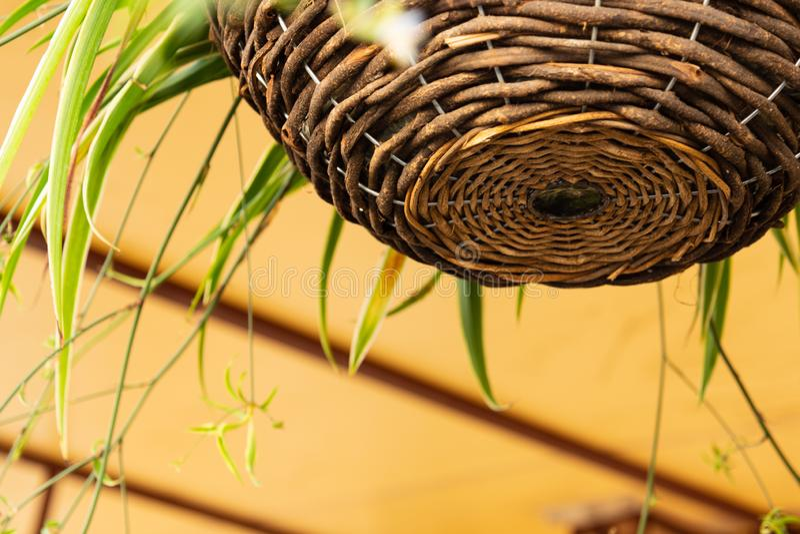 Een mand van wilgentakken wordt geweven hangt met een bloem van chlorophytum die stock fotografie