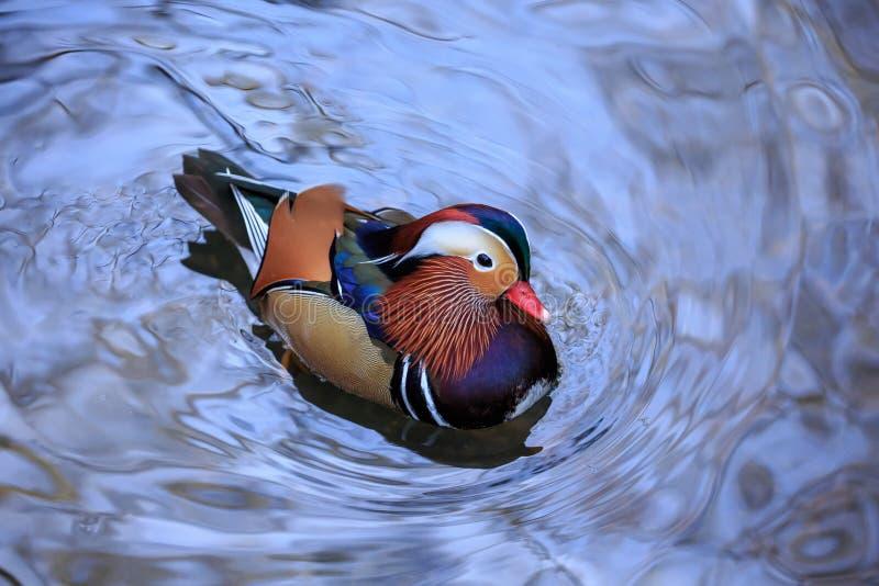 Een Mandarin eendmannetje in blauw water stock afbeeldingen