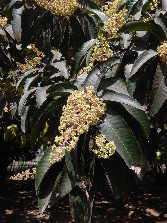 Een Mangoboom royalty-vrije stock afbeeldingen