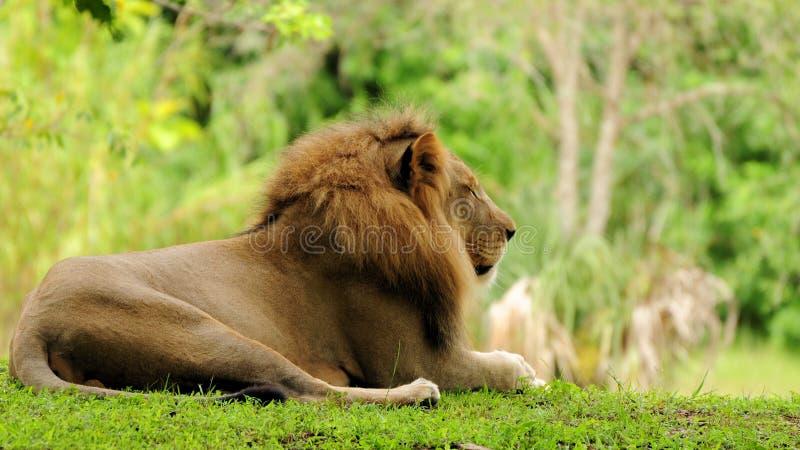 De Afrikaanse leeuw van manen royalty-vrije stock fotografie