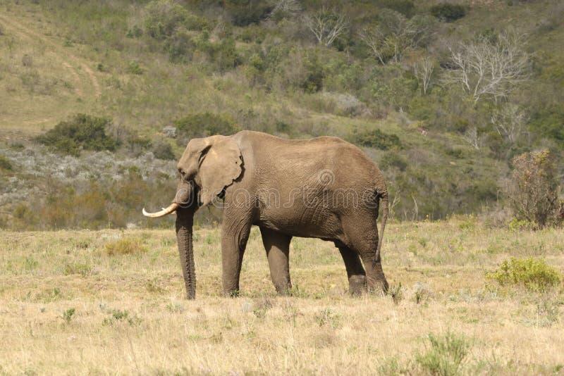 Een Mannelijke Afrikaanse Olifant bij Boteilierskop-Reserve stock foto's