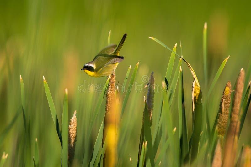 Een mannelijke Gemeenschappelijke Yellowthroat in een cattailmoeras in de lente stock foto