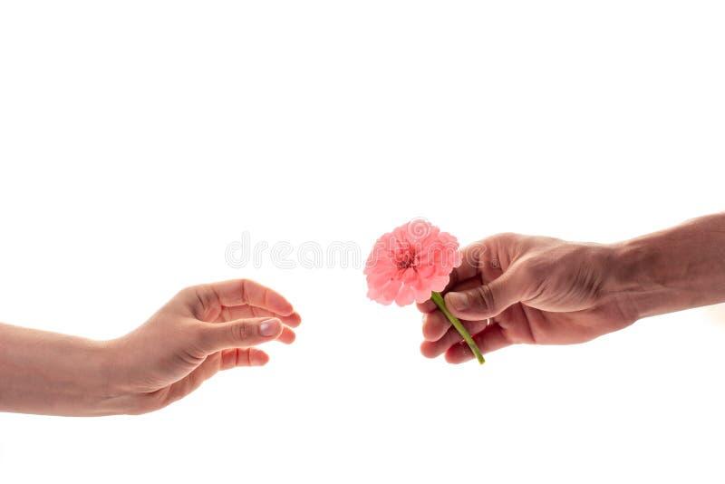 Een mannelijke hand die en een tot bloei komende die bloem van Zinnia houden geven aan een vrouw op witte achtergrond wordt geïso stock afbeelding