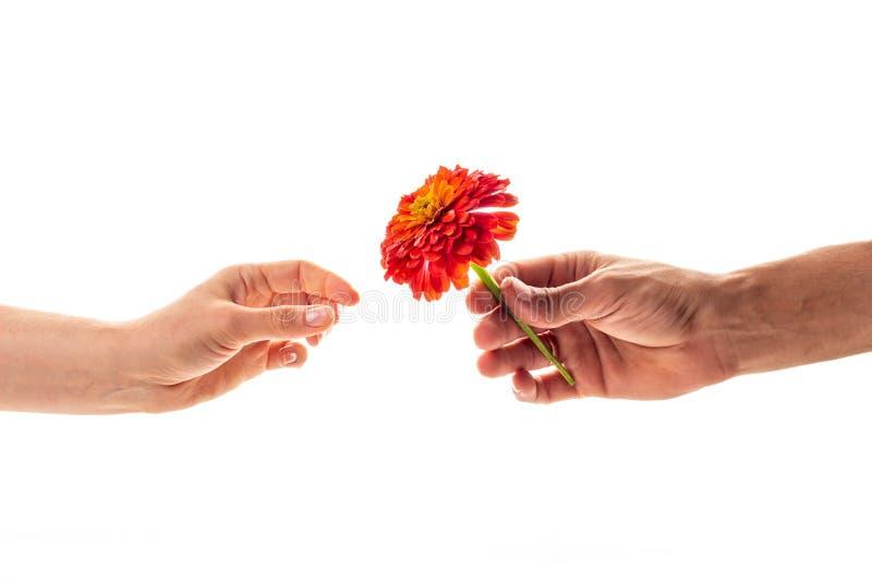 Een mannelijke hand die en een tot bloei komende die bloem van Zinnia houden geven aan een vrouw op witte achtergrond wordt geïso royalty-vrije stock fotografie