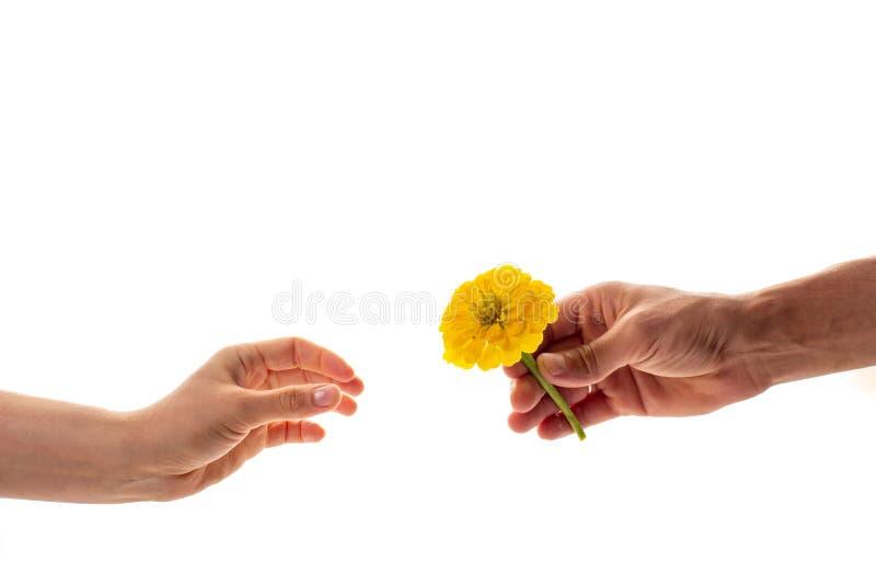 Een mannelijke hand die en een tot bloei komende die bloem van Zinnia houden geven aan een vrouw op witte achtergrond wordt geïso stock afbeeldingen