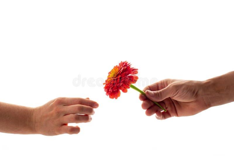 Een mannelijke hand die en een tot bloei komende die bloem van Zinnia houden geven aan een vrouw op witte achtergrond wordt geïso royalty-vrije stock foto