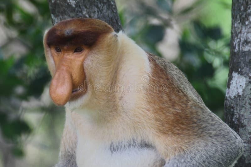 Een mannelijke Nasalis larvatus van de Zuigorganenaap of een lang-besnuffelde aap royalty-vrije stock foto's