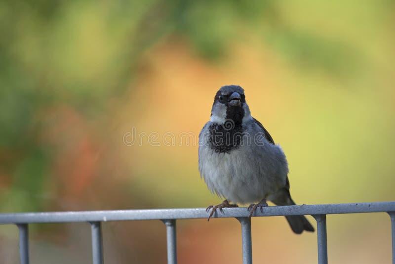 Een mannelijke Passer van de Huismus domesticus streek op een metaalomheining neer Achter de vogel een mooie en kleurrijke helder royalty-vrije stock foto