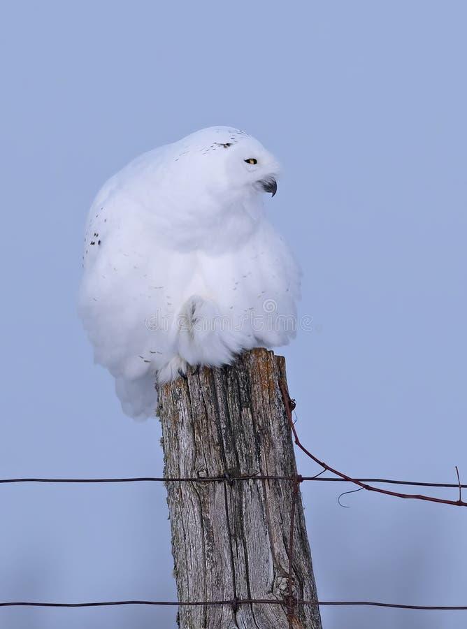 Een Mannelijke Sneeuwscandiacusclose-up van uilbubo streek op een houten post in de winter in Ottawa, Canada neer royalty-vrije stock foto's