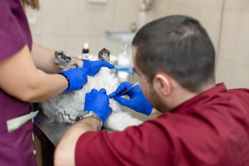 Een mannelijke veterinaire anesthesiologist maakt de procedure voor een kat - een catheteriseren van de blaas De medewerkers houd stock afbeelding