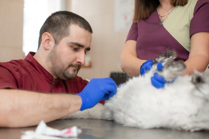 Een mannelijke veterinaire anesthesiologist maakt de procedure voor een kat - een catheteriseren van de blaas De medewerkers houd stock foto
