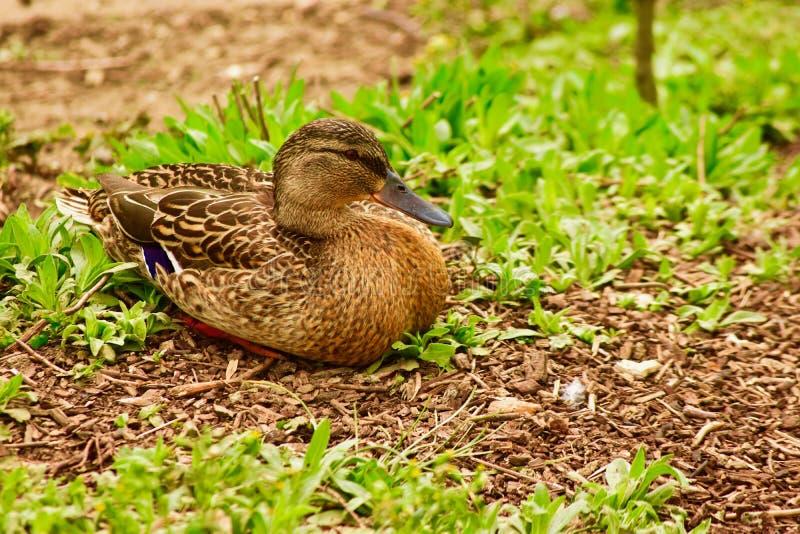 Een mannetje falcated Teal Duck stock fotografie