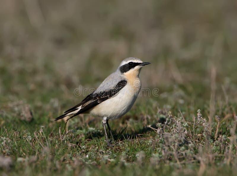 Een mannetje van noordelijke wheatear royalty-vrije stock foto's