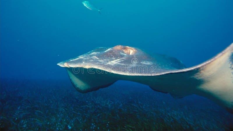 Een Manta-alfredi van straalmanta zwemt over een oceanic top in het Nationale Park van Komodo, Indonesië Mantas wordt gevonden we royalty-vrije stock fotografie