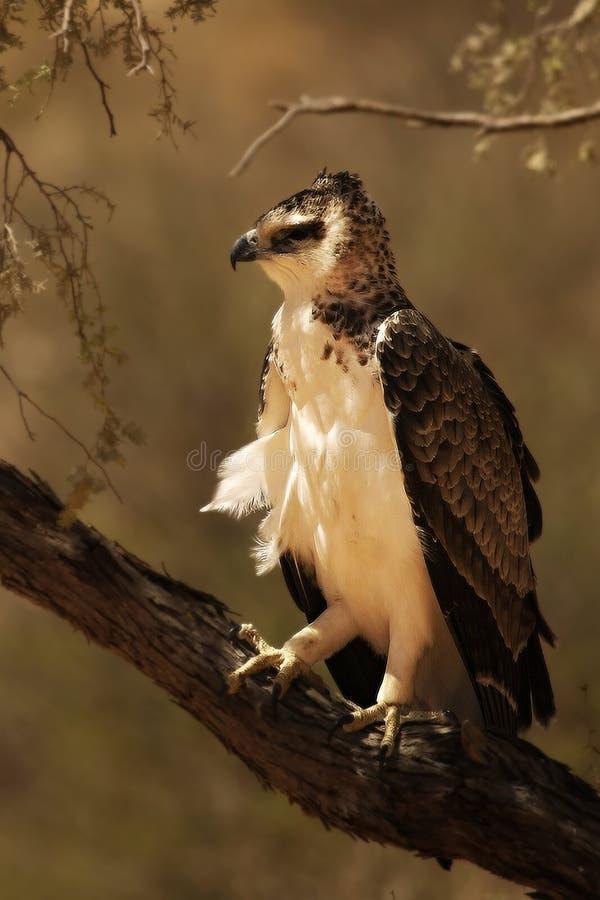 Een Martial Eagle Polemaetus bellicosus die op de tak zit royalty-vrije stock foto's