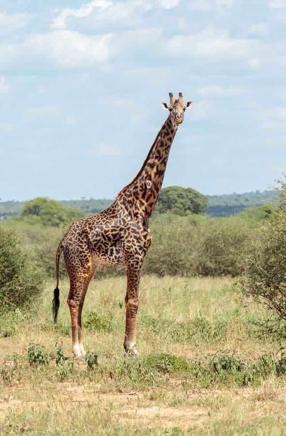 Een Masai-Giraf in het Acaciastruikgewas royalty-vrije stock afbeeldingen