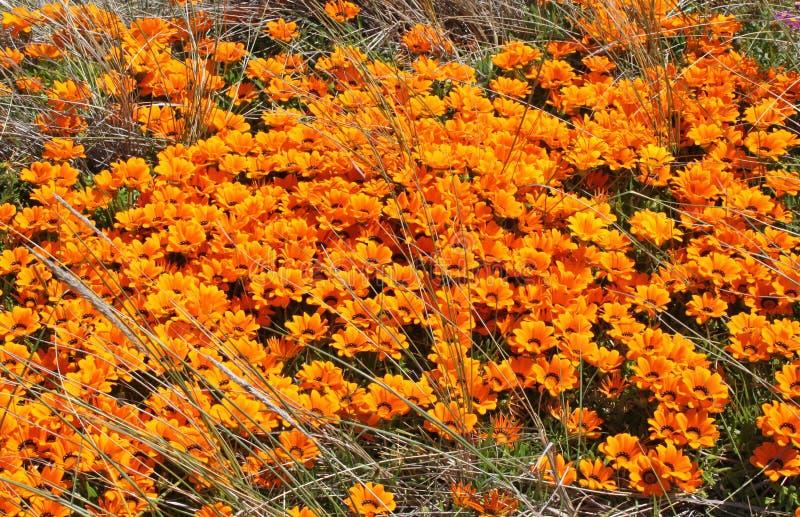 Een massa van oranje madeliefjes die wildernis in een weide in Nieuw Zeeland kweken stock afbeelding