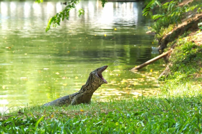 Een medium-large en mooie monitorhagedis, met mond brede open, genietend van de banken van een meer in een weelderig Thais tuinpa stock fotografie