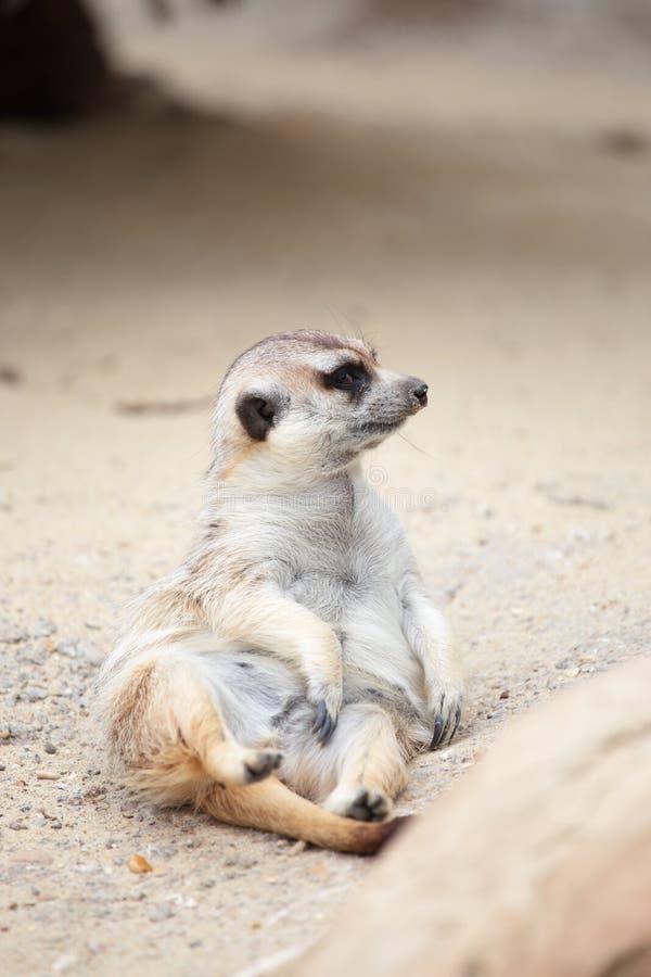 Een meerkat die op de grond liggen royalty-vrije stock afbeelding
