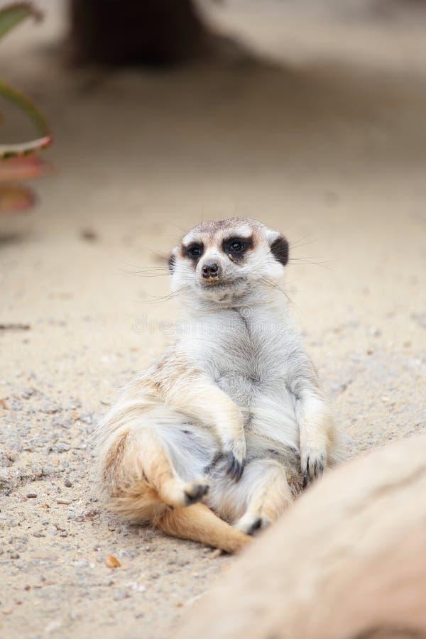 Een meerkat die op de grond liggen royalty-vrije stock afbeeldingen