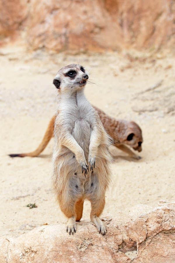 Een meerkat die rond eruit ziet stock foto's