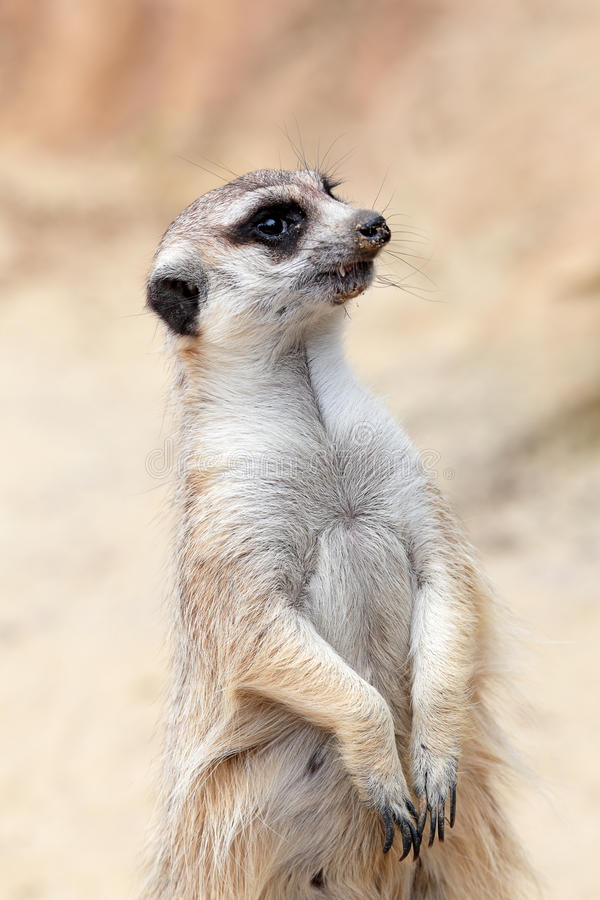 Een meerkat die rond eruit ziet stock afbeeldingen