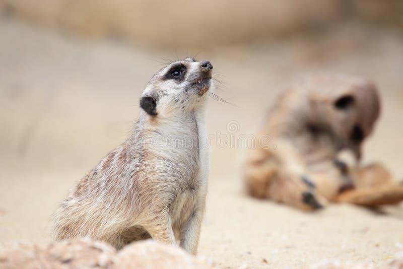 Een meerkat die rond eruit ziet stock foto