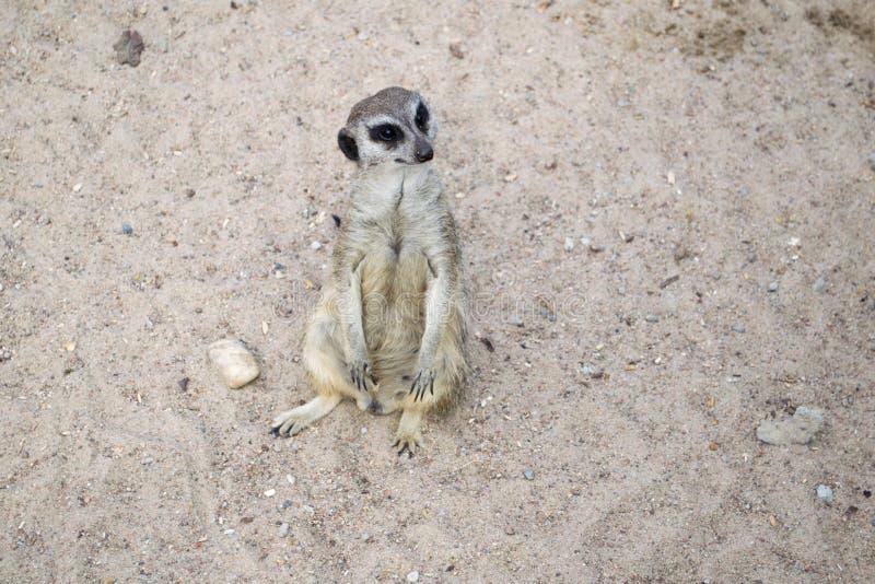 Een meerkat - inwoner van de woestijn royalty-vrije stock foto