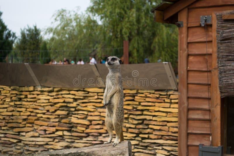 Een meerkat - inwoner van de woestijn royalty-vrije stock foto's