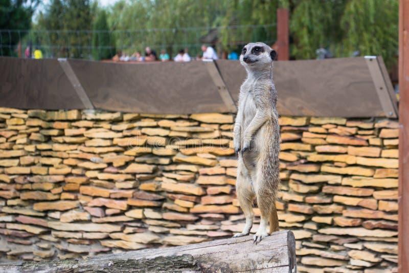 Een meerkat - inwoner van de woestijn royalty-vrije stock afbeelding