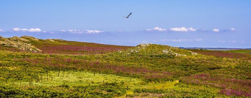 Een meeuw stijgt over het Koekoeksbloem beklede landschap van Skomer-Eiland, Wales royalty-vrije stock fotografie