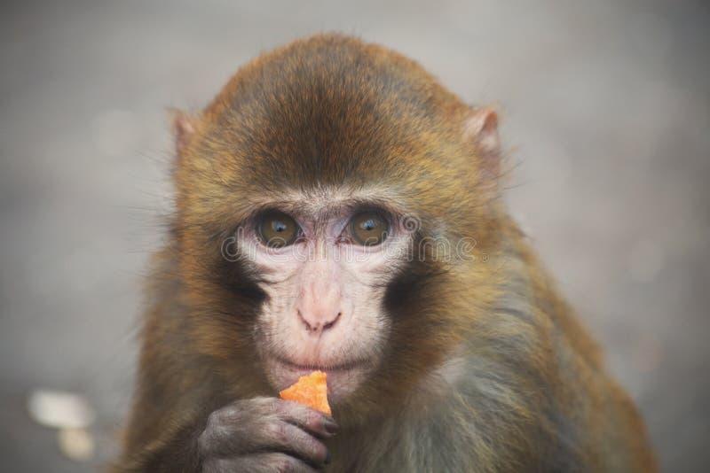 Een melancholie weinig aap stock afbeelding