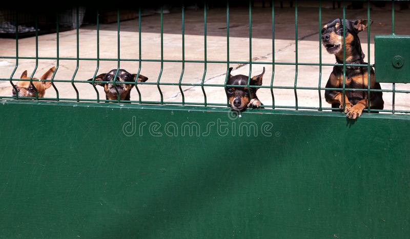 Een menigte van hevige honden bewaakt de werf stock afbeeldingen