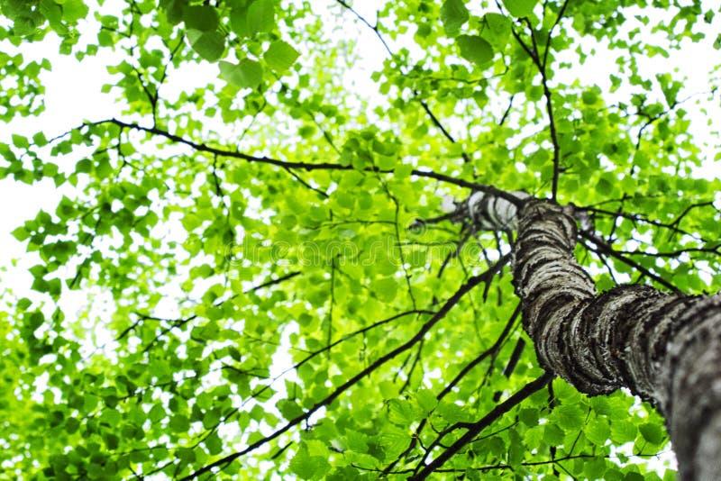 Een mening van onderaan over de kroon van een boom royalty-vrije stock afbeelding