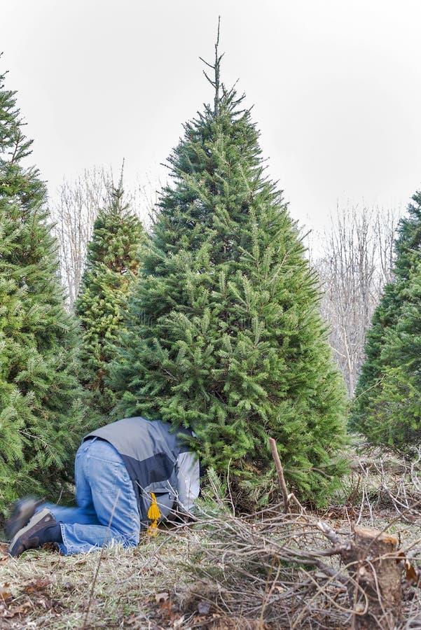 Een mens die een Kerstboom verminderen op een boomlandbouwbedrijf royalty-vrije stock afbeelding