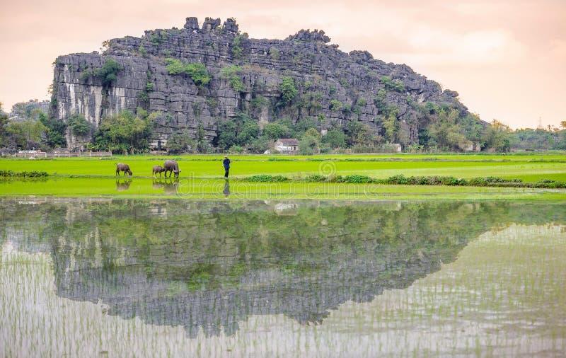 Een mens en een buffel in padieveld in ninh binh, Vietnam stock afbeelding