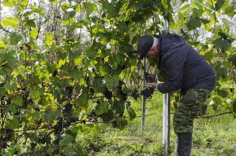 Een mens verzamelt de druivenoogst royalty-vrije stock afbeeldingen