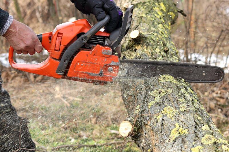 Een mens zaagt een tak van sprinkhanenboom met een oranje kettingzaag voor benzine om tuin of park schoon te maken stock foto's