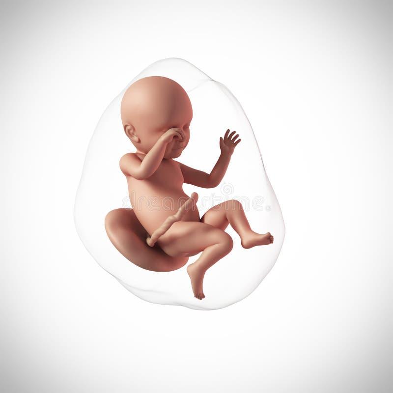 Een menselijk foetus - week 39 royalty-vrije illustratie