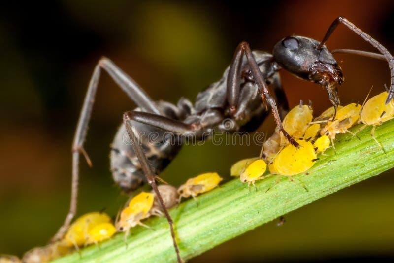 Een mier en aphids stock foto's