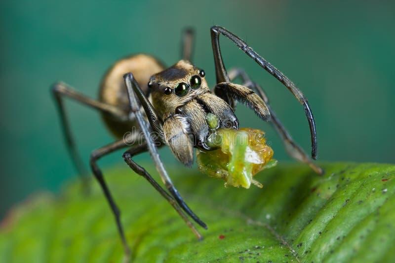 Een mier-mimische het Springen spin met prooi stock afbeelding