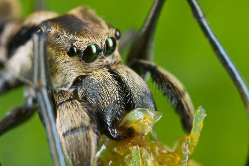 Een mier-mimische het Springen spin met prooi stock afbeeldingen