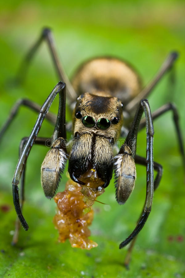 Een mier-mimische het Springen spin met prooi stock foto's
