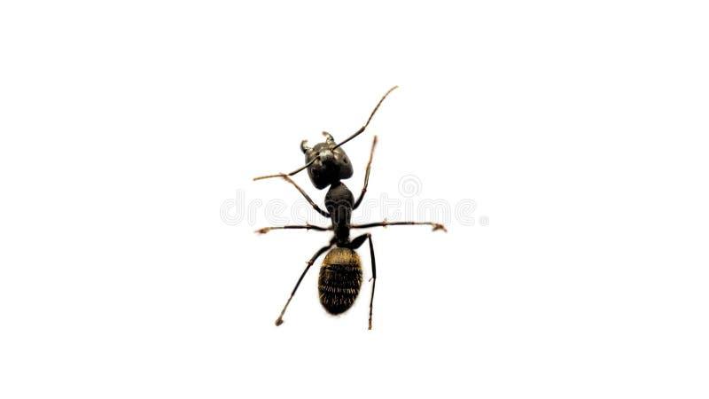 Een mier op een witte achtergrond stock foto