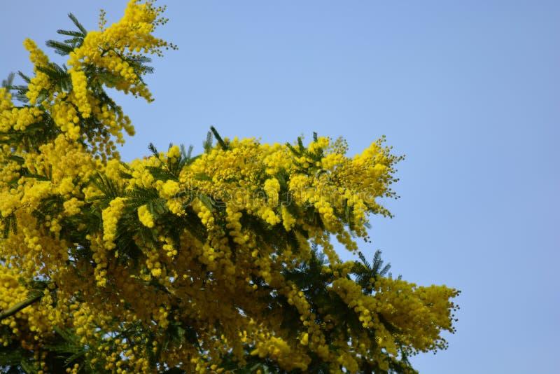 Een Mimosaboom in februari in volledige bloei royalty-vrije stock afbeeldingen